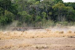 Lion Chasing After Zebra i Kenya Afrika Royaltyfri Foto