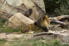 Lion chez Denver Zoo photos stock