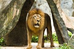 Lion in chiangmai zoo chiangmai Thailand Royalty Free Stock Photos