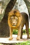 Lion in chiangmai zoo chiangmai Thailand Stock Photo