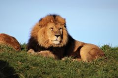 Lion chilling in the grass. Fierce lion lying in the grass, chilling in the sun. Big manes royalty free stock images