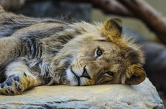 Lion. Chilling lion on the rock Royalty Free Stock Images