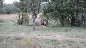 Lion choking and killings its prey. Large male lion in the wild killing and choking its prey, a young deer or doe stock footage