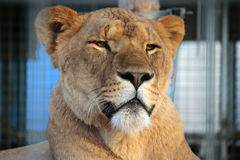 Lion. CIRCA OCTOBER 2014 - BERLIN: a lion in a zoo, Berlin Stock Images