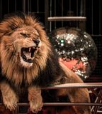 Lion in circus. Close-up shot of  gorgeous roaring lion in circus arena Royalty Free Stock Photos