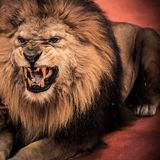 Lion in circus stock photo