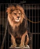 Lion in circus. Gorgeous lion sitting in a circus arena cage Royalty Free Stock Photo