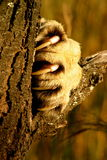 Lion Claw. Claw of an African Lion stock images