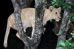 Lion Climbing Tree Royalty Free Stock Photos