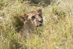 Lion close encounter Stock Photo