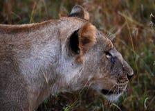 Lion Close Stock Photos