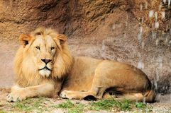 Lion close to waterfall Stock Image
