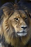 Lion close up. This is a close up of a lion stock photography