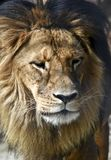 Lion close up. This is a close up of a lion stock photo