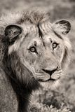 Lion Close-up Royalty Free Stock Photos