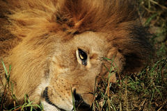 Lion close up Stock Images