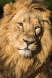 Lion Close Up Stock Photo