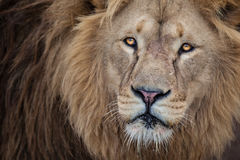 Lion close up Stock Photography