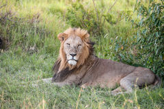 Lion close up against green grass background Royalty Free Stock Image