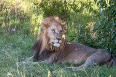 Lion close up against green grass background Royalty Free Stock Images