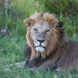 Lion close up against green grass background Royalty Free Stock Photos