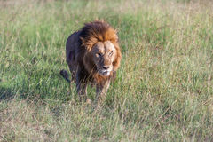 Lion close up against green grass background Stock Image