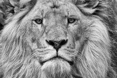 Lion. A close up of the face of a male lion Stock Photos