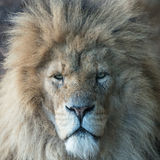 Lion close up. Magnificent male lion staring into camera, truly the King of Beasts Royalty Free Stock Photos