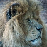 Lion close up. Magnificent male lion staring into camera, truly the King of Beasts Royalty Free Stock Image