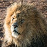 Lion close up. Magnificent male lion staring into camera, truly the King of Beasts Royalty Free Stock Images