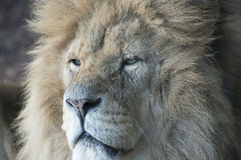 Lion close up. Close up of male pride lion, the king of beasts Stock Photo