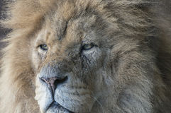 Lion. Close up of male pride lion, the king of beasts Royalty Free Stock Photos