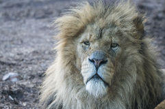 Lion. Close up of male pride lion, the king of beasts Royalty Free Stock Photo