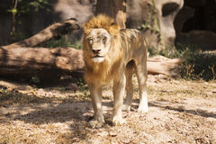 Lion closed the eyes Stock Images