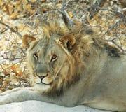 Lion closeup. Lion close up in Etosha National Park, Namibia Royalty Free Stock Image
