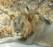 Lion closeup Stock Images