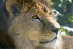 Lion closeup Stock Photo