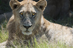 Lioness - Closeup Stock Photo