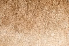Lion Coat Closeup Stock Images