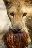 Lion and coconut Royalty Free Stock Images