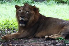 Lion comme il est Image stock