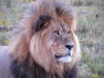 Lion contemplating life Royalty Free Stock Images