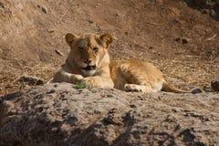 Lion contrarié Photos libres de droits