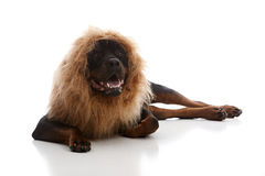 Lion Costume. Rottweiler wearing a lion mane. on white royalty free stock images