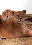 Lion couple. With lion in background and lioness staring in camera Stock Image