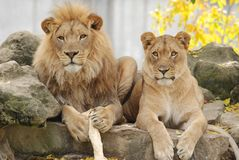 Free Lion Couple Royalty Free Stock Photos - 16881068