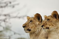 Lion couple. With grey sky and tree branches in background stock image