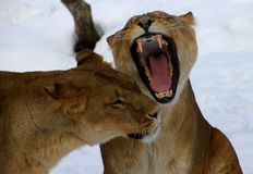Female lion friends. Lions in Kristiansand zoo, Norway. Picture taken in February 2013 Royalty Free Stock Photography