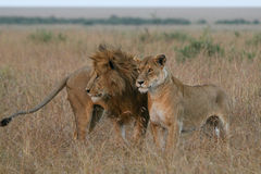 Lion couple. African lion and lioness standing together in Masai Mara, Kenya Royalty Free Stock Images