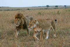Lion couple. African lion and lioness taking a stroll through Masai Mara, Kenya, during courtship Stock Image